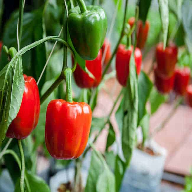 Grow Bell Peppers Indoors