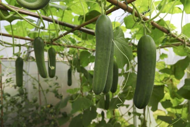 How to Grow Cucumbers Indoors