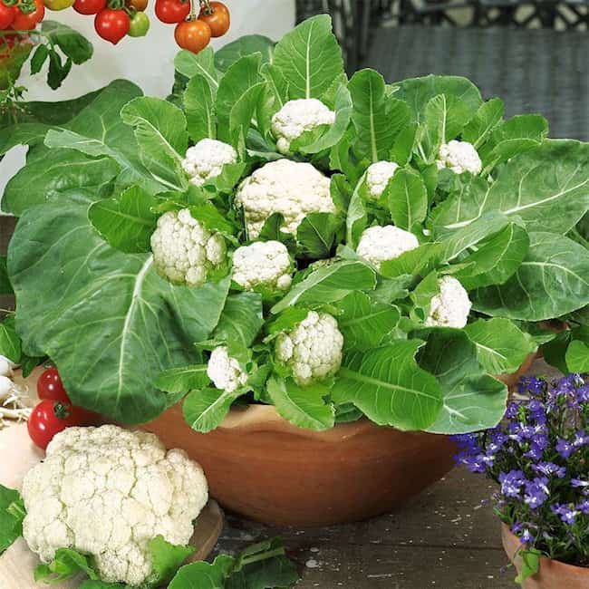 How To Grow Cauliflower In Pots