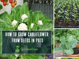 How To Grow Cauliflower From Seeds in Pots