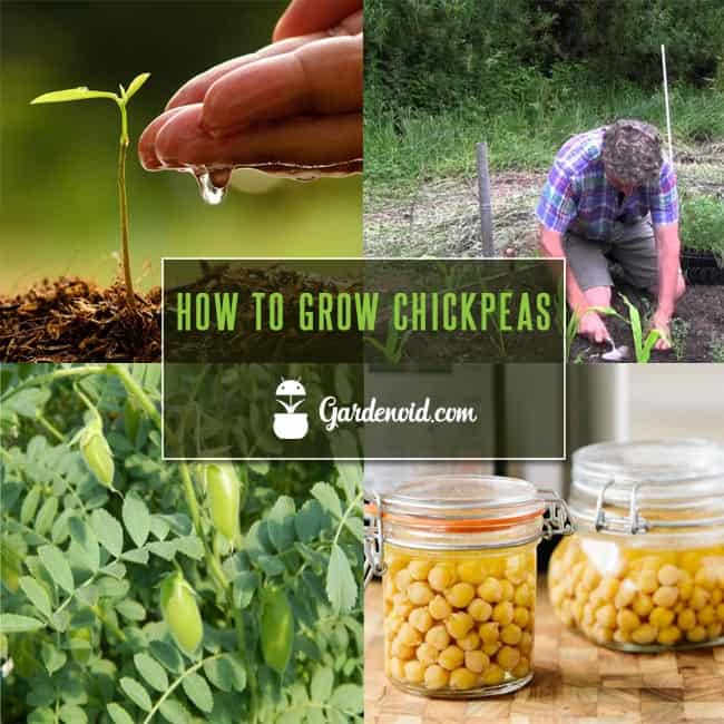 How To Grow Chickpeas