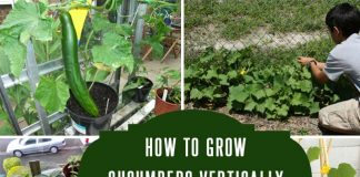 How To Grow Cucumbers Vertically to Maximize Space