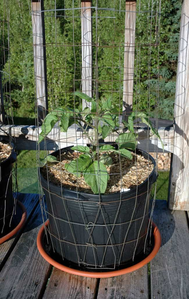 Grow Roma tomatoes in pots