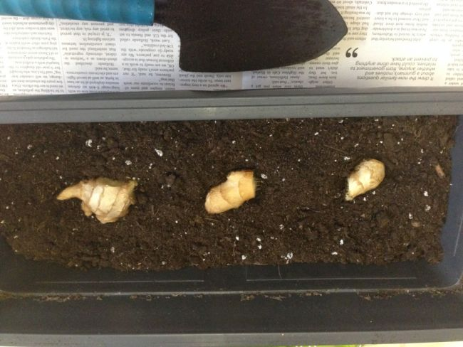 Growing Ginger Indoors