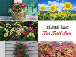 Best Annual Flowers For Full Sun