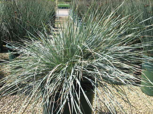Growing ornamental grass in containers gardenoid for Spiky ornamental grass
