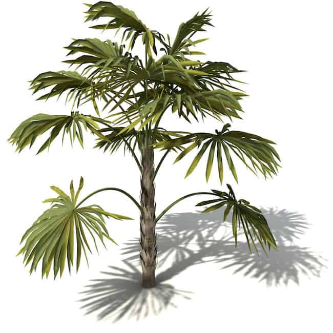 Cabbage-Palm Palm Tree Indoor House Plants That Look Like on yucca palm tree plants that look like, palm trees as indoor plants, weed plants that look like,