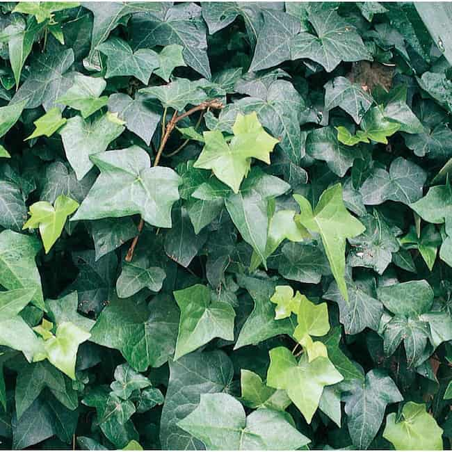 plants that grow in the shade