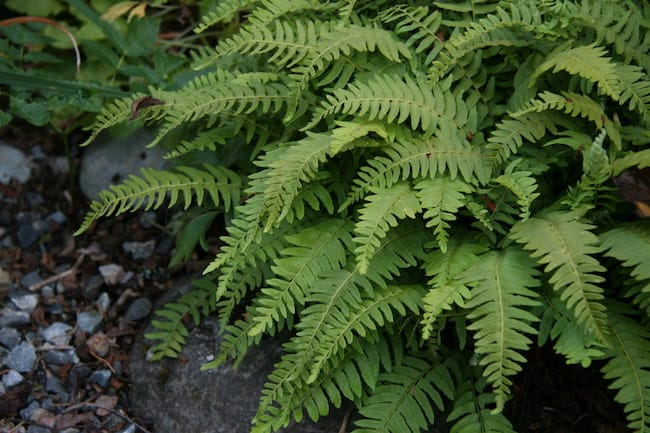 plants that grow in shade