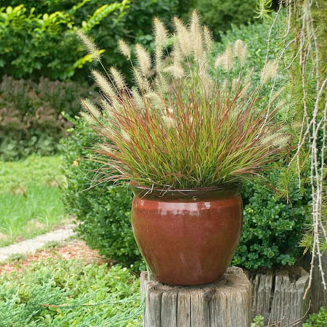Growing Ornamental Grass in Containers