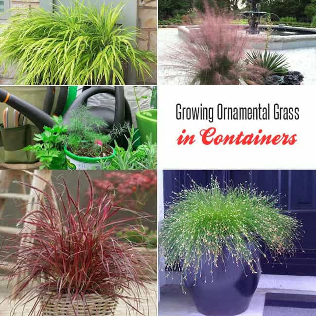 Growing ornamental grass in containers gardenoid for Ornamental grasses that grow tall