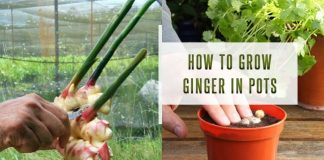 How To Grow Ginger in Pots