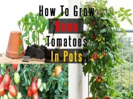 How To Grow Roma Tomatoes In Pots