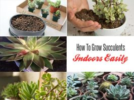 How To Grow Succulents Indoors Easily