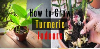 How To Grow Turmeric Indoors