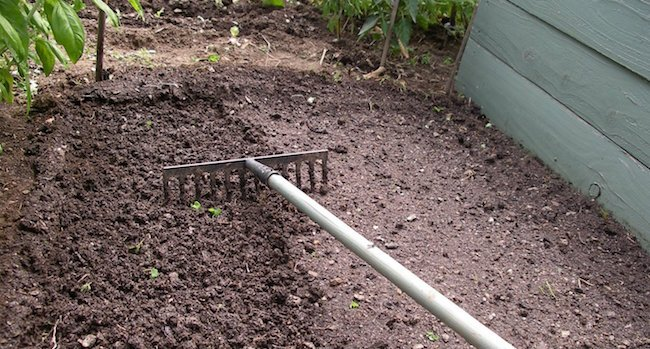 how to grow cloves
