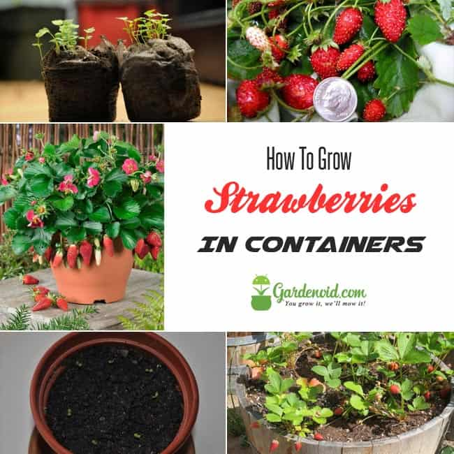 Strawberry In Container Growing