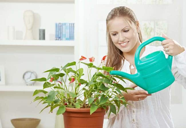 Watering Indoor Plants