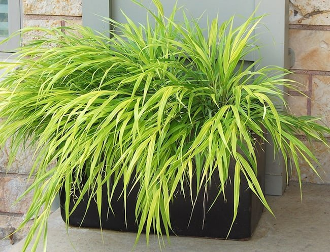 Ornamental grass for container