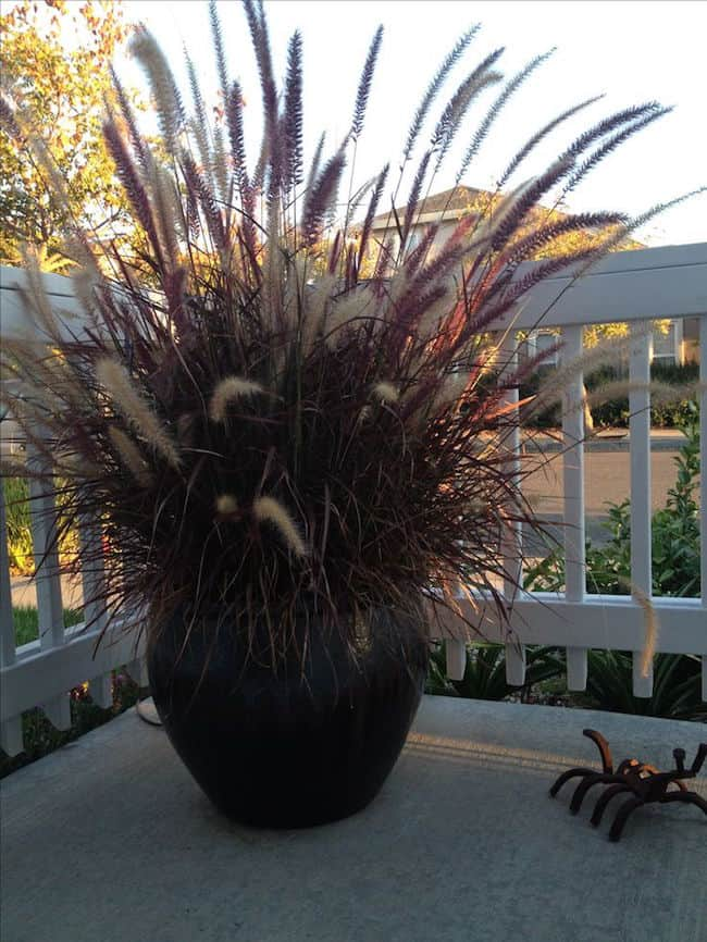 ornamental grasses in container