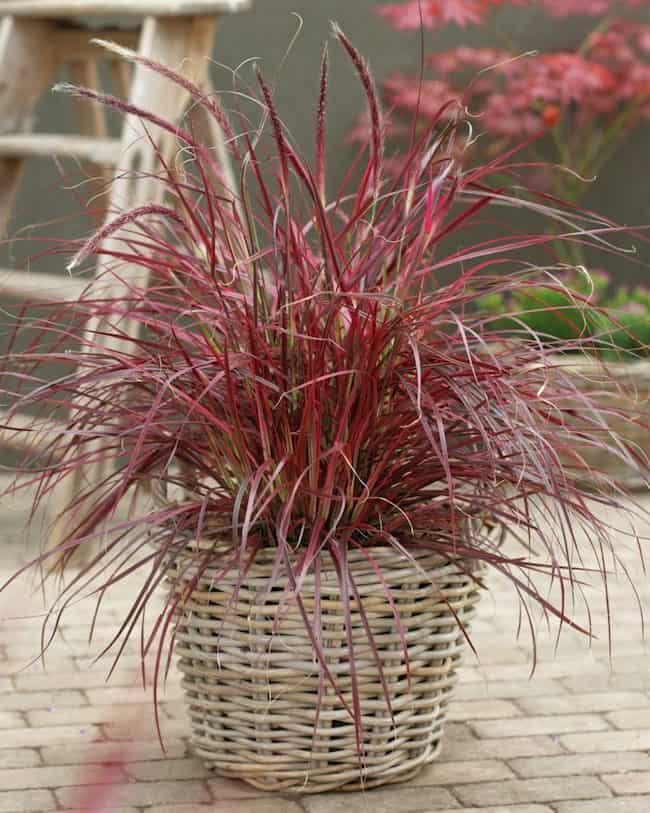 Best ornamental grasses