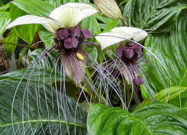 21 exotic tropical house plants that are easy to grow gardenoid white bat flower tropical house plant mightylinksfo