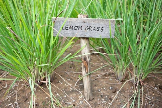 Grow Lemongrass