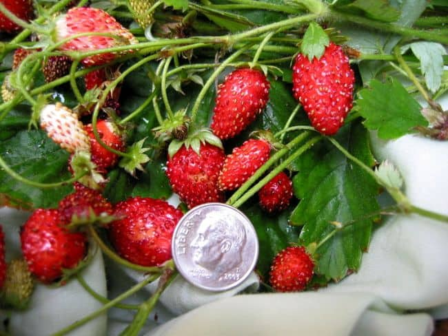 strawberry container ideas