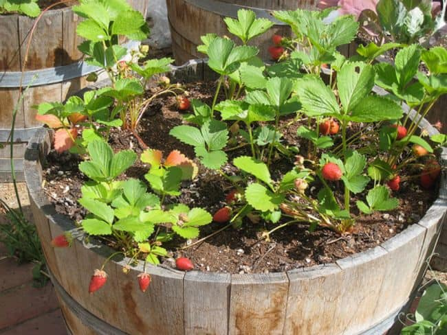 Grow strawberries in containers