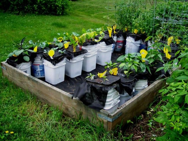 Buckets used as raised beds in garden