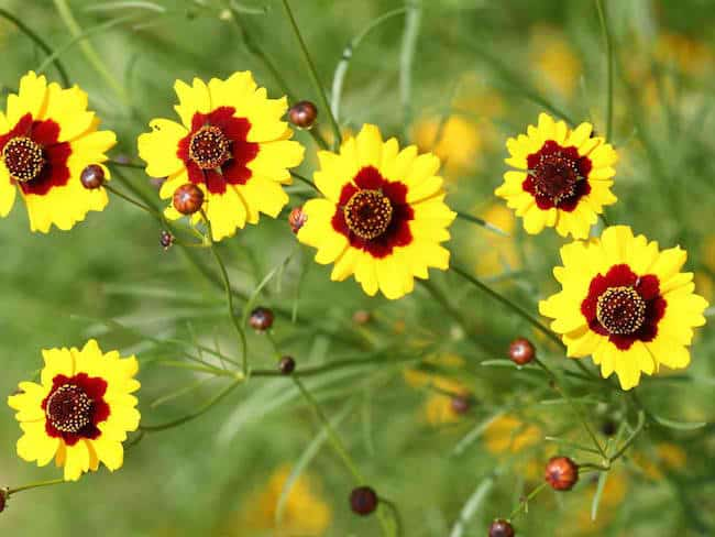growing Coreopsis plant