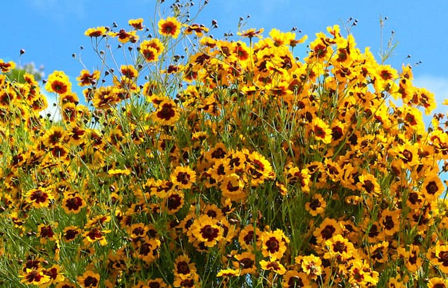 Caring for Coreopsis Plant