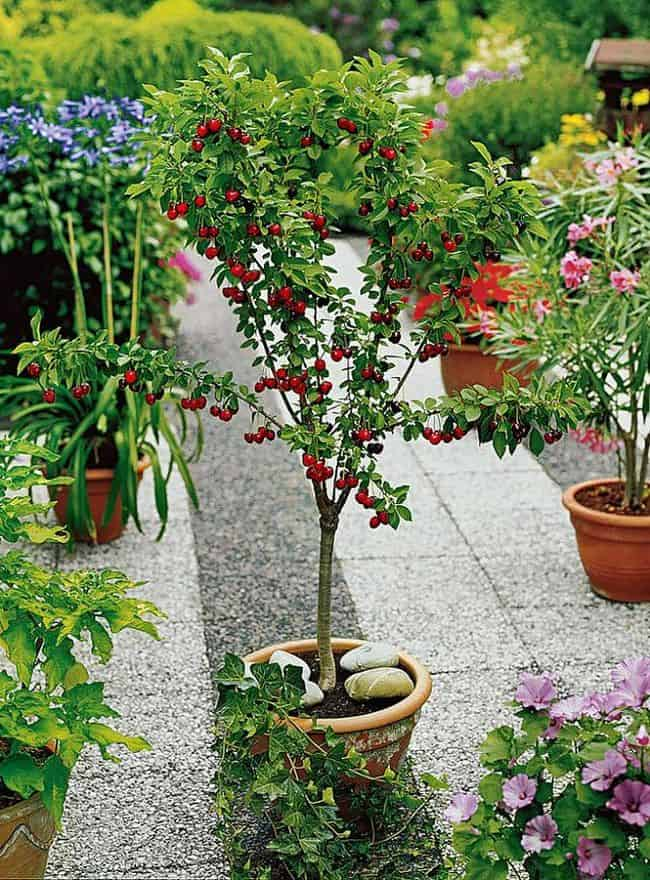 21 Best Ideas For Growing Fruit Trees in Containers ...