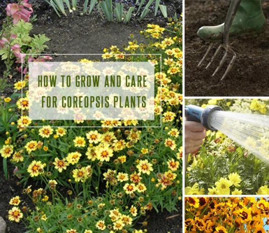 How To Grow and Care for Coreopsis Plants