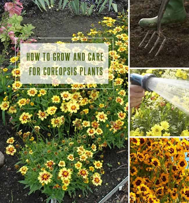 Coreopsis Plant Care