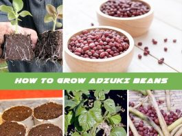 How to Grow Adzuki Beans