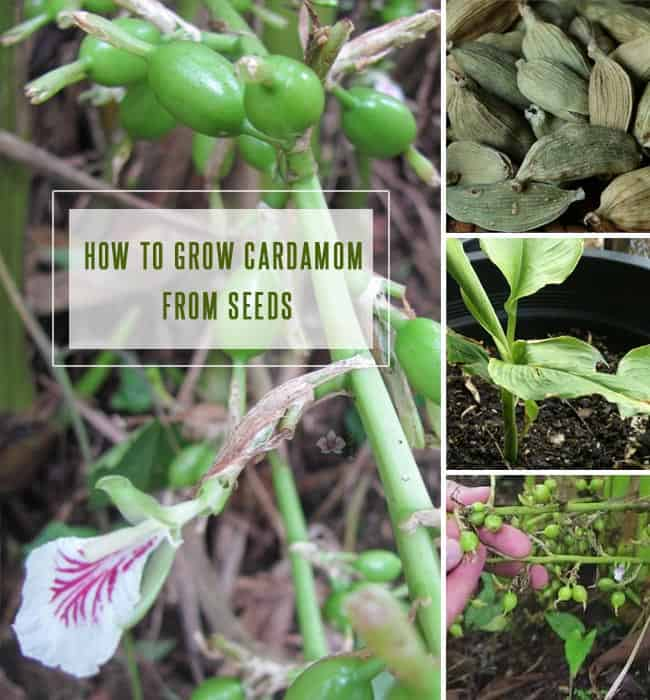 How to Grow Cardamom From Seeds