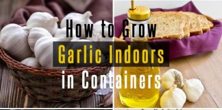 How to Grow Garlic Indoors in Containers