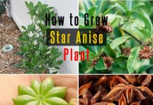 How to Grow Star Anise Plant