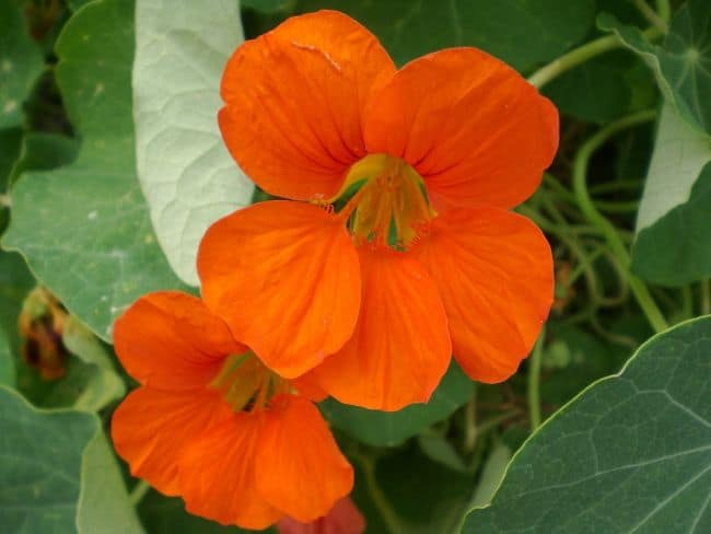 Examples of Flowers we Eat