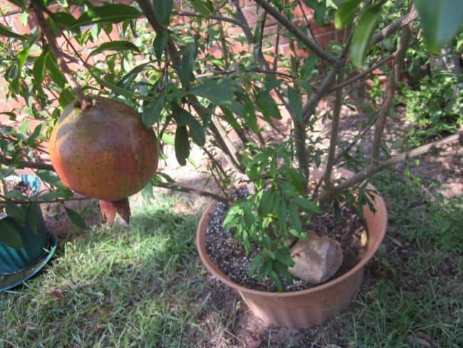 Container Fruit Trees
