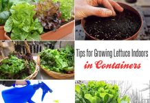Growing Lettuce Indoors In Containers