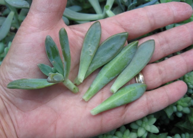 How To Propagate Cacti And Succulent Plants A Complete Guide