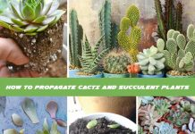 How To Propagate Cacti And Succulent Plants