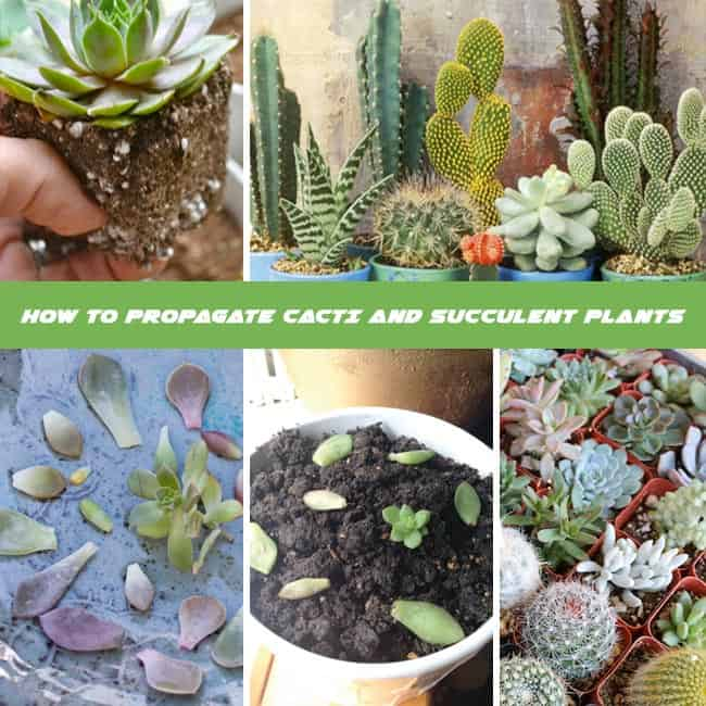 How To Propagate Cacti