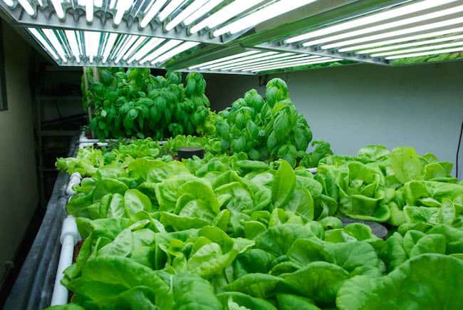 growing lettuce indoors under lights
