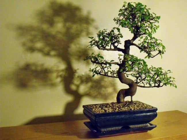 Chinese Bonsai Plant
