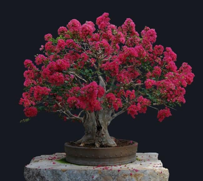 Best Indoor Bonsai Tree