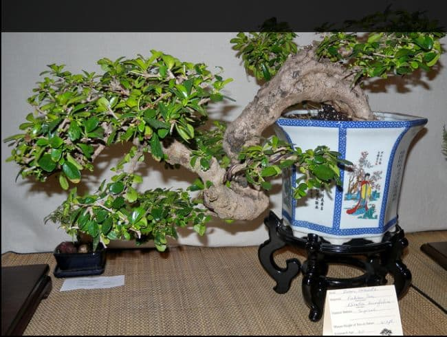 Indoor Bonsai Species