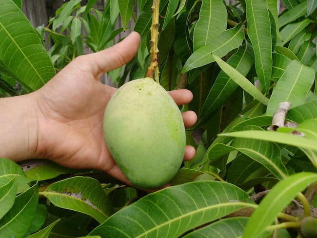 growing mango tree